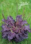 PLANTAGO major  'Purple Perversion' Portion(s)