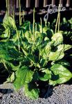 PLANTAGO major   Portion(s)