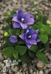 PLATYCODON grandiflorus F1-Hybr. Astra-Series 'Astra Blue-semi-double' Portion(s)