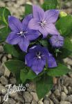 PLATYCODON grandiflorus F1-Hybr. Astra-Serie 'Astra Blau' Portion(en)