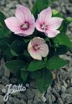 PLATYCODON grandiflorus F1-Hybr. Astra-Serie 'Astra Rosa' Portion(en)