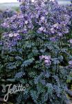 POLEMONIUM yezoense  'Purple Rain Strain' Portion(s)