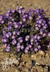 POLEMONIUM pulcherrimum