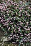 POLYGONUM capitatum   Portion(en)