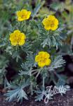 POTENTILLA calabra   Portion(en)