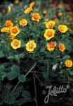 POTENTILLA atrosanguinea var. argyrophylla   Portion(s)