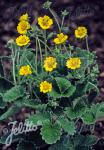 POTENTILLA atrosanguinea var. argyrophylla  'Golden Starlit' Portion(s)