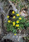POTENTILLA erecta   Portion(s)