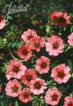 POTENTILLA nepalensis  'Miss Willmott' Portion(s)