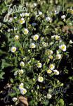 POTENTILLA rupestris   Portion(s)