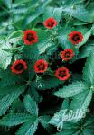POTENTILLA thurberi  'Monarch's Velvet' Portion(en)