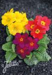 PRIMULA vulgaris  'Mixed Selection'