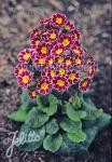 PRIMULA Elatior-Hybr.  'Silver Lace Purple' Portion(s)