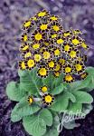 PRIMULA Elatior-Hybr.  'Victoriana Gold Lace Black' Portion(s)