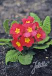 PRIMULA elatior Crescendo®-Series 'Crescendo® Bella Rose' Portion(s)