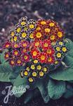 PRIMULA Elatior-Hybr.  'Victorian Laced Primroses' Portion(en)