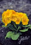 PRIMULA elatior Crescendo®-Series 'Crescendo® Golden' Portion(s)