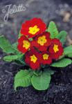 PRIMULA elatior Crescendo®-Series 'Crescendo® Bright Red' Portion(s)