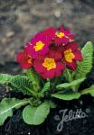 PRIMULA elatior Crescendo®-Series 'Crescendo® Wine-Red' Portion(s)