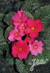 PRIMULA Wanda-Hybr. (Orig. Niederlenz) 'Wanda Raspberry Red…