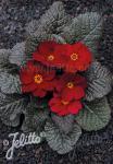 PRIMULA Wanda-Hybr. (Orig. Niederlenz) 'Wanda Velvet Red… Portion(s)