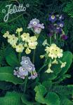 PRIMULA alpicola   Portion(s)