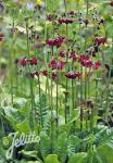 PRIMULA anisodora   Portion(s)