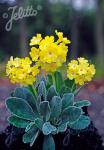 PRIMULA auricula   Portion(s)