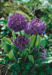 PRIMULA denticulata  'Blue Selection' Portion(s)