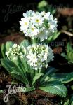 PRIMULA denticulata var. alba  'Weiße Auslese' Portion(en)