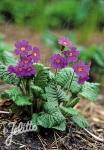 PRIMULA amoena   Portion(s)