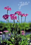 PRIMULA farinosa   Portion(en)