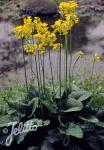 PRIMULA florindae   Portion(s)