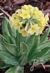 PRIMULA orbicularis   Portion(s)