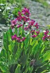 PRIMULA parryi   Portion(s)