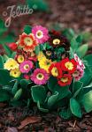 PRIMULA x pubescens   Portion(en)
