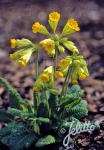 PRIMULA veris ssp. macrocalyx   Portion(s)