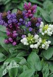 PRUNELLA grandiflora  Mixture Portion(s)