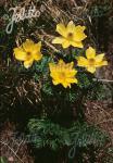 PULSATILLA alpina ssp. sulphurea   Portion(en)