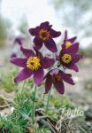 PULSATILLA vulgaris  'Blaue Glocke' Portion(s)