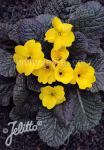 PRIMULA Wanda-Hybr. (Orig. Niederlenz) 'Wanda Yellow' Portion(s)