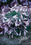 PENSTEMON hirsutus var. pygmeus   Seeds