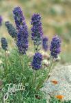 PHACELIA sericea   Seeds