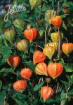 PHYSALIS alkekengi var. franchetii  'Zwerg' Seeds
