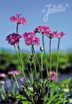 PRIMULA farinosa   Seeds
