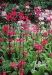 PRIMULA japonica  Deluxe Mixture Seeds
