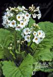 PRIMULA japonica  'Alba' Korn