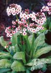 PRIMULA japonica  'Appleblossom' Seeds