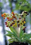 PRIMULA veris  'Sunset Shades' Seeds