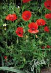 PAPAVER rhoeas   Portion(s)